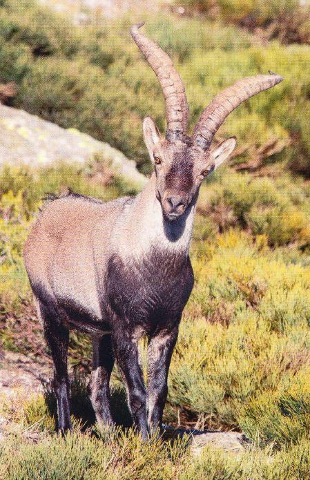 Macho de cabra montes en la sierra de Guadarrama